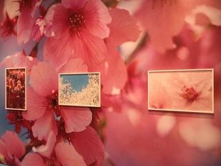 蜷川実花展桜2.jpg
